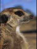 Portrait of a Meerkat in Profile Photographic Print by Mattias Klum