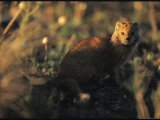 Yellow Mongoose in Shadowy Afternoon Light Photographic Print by Mattias Klum