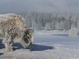 View of an Ice-Encrusted American Bison Photographic Print by Tom Murphy