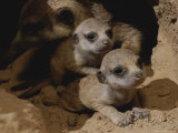 Just Waking Up, Two Meerkat Pups Crawl Away From Their Nest Into the Sunlight Photographic Print by Mattias Klum