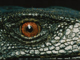 Close View of the Eye of a New Species of Monitor Lizard Photographic Print by Tim Laman