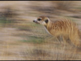 Meerkat on the Run Photographic Print by Mattias Klum