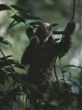 Sloth in Rain Forest Branches Photographic Print by Mattias Klum