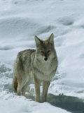 Coyote Stands in the Snow Photographic Print by Tom Murphy