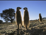 Meerkats Start Each Day with a Sunbath to Lift the Night&#39;s Chill Photographic Print by Mattias Klum