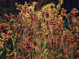 Field of Red and Green Kangaroo Paws Photographic Print by Jonathan Blair