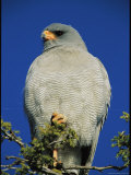 Pale Chanting Goshawk Perched on a Tree Limb Photographic Print by Mattias Klum