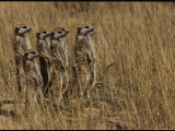 Group of Meerkats Stand Guard in a Field Photographic Print by Mattias Klum
