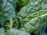 Swiss Chard Aka Silverbeet Leaves Growing in a Vegetable Garden Photographic Print by Jason Edwards