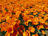 California Poppies in Field Photographic Print by Jonathan Blair