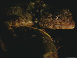 Lizard Photographic Print by Mattias Klum