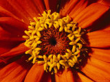 Close View of a Zinnia Hybrid Photographic Print by Jonathan Blair