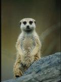 Portrait of a Captive Meerkat Photographic Print by Joel Sartore