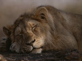 Asian Lion, Sleeping, Gir Forest, Gujarat State, India Photographic Print by Mattias Klum