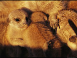 Two Young Meerkats Cozy Up with Their Caretaker Photographic Print by Mattias Klum