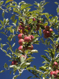 Branches of an Apple Tree Photographic Print by Tim Laman