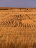 Cattle Graze Rows of Harvested, Dry-Farmed Wheat Photographic Print by Gordon Wiltsie