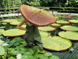 The Cut Pad of a Victoria Amazonica Lily Covers a Gardener's Head Photographic Print by Jonathan Blair