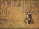 Protective Adult Meekrat Hovers Over a Meerkat Pup Photographic Print by Mattias Klum