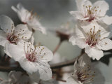 Close View of Cherry Blossoms Photographic Print by Darlyne A. Murawski