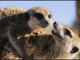 Two Meerkats Wrestle Playfully Photographic Print by Mattias Klum