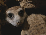 Close View of a Meerkat Looking Over Its Shoulder with Dirt on Its Nose Photographic Print by Mattias Klum