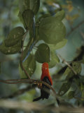 Rainforest Bird, Borneo Island Photographic Print by Mattias Klum