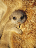 Meerkat Baby with an Ant in Its Mouth Snuggles Up to an Elder Photographic Print by Mattias Klum