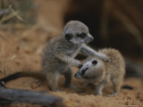 Two Meerkat Pups Playfully Wrestle Photographic Print by Mattias Klum