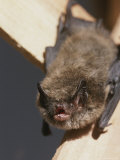 Close View of a Bat Hanging By Its Feet Photographic Print by Tom Murphy