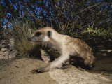 Side View of a Meerkat Creeping on All Fours Over Asandy Mound Photographic Print by Mattias Klum