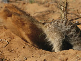 Meerkat Digs Deep After Prey Photographic Print by Mattias Klum