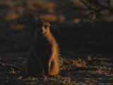 Plump Meerkat Sits Upon Desert Sands Photographic Print by Mattias Klum