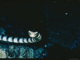 Close View of a Banded Sea Snake, or Yellow-Lipped Sea Krait Photographic Print by Wolcott Henry