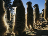 Meerkats Warm Themselves in the Sun After a Chilly Desert Night Photographic Print by Mattias Klum