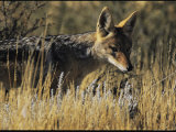 Black-Backed Jackal Stands Alert Among the Desert's High Grasses Photographic Print by Mattias Klum