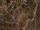 Asian Lion, Gir Forest, Gujarat State, India Photographic Print by Mattias Klum