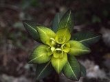 Close View of Euphorbia Himalayensis Photographic Print by Anne Keiser