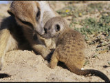 An Adult Meerkat Grooms a Meerkat Pup&#39;s Face Photographic Print by Mattias Klum