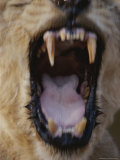 Asian Lion, Close View of Open Mouth, Gir Forest, Gujarat State, India Photographic Print by Mattias Klum