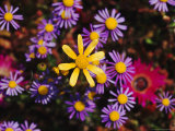 Close View of Purple and Yellow Felicia Flowers Photographic Print by Jonathan Blair