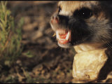 An Angry Meerkat with Its Teeth Bared Photographic Print by Mattias Klum