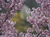 Close View of the Branch of a Flowering Cherry Tree Photographic Print by Darlyne A. Murawski