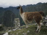 Llama Standing Near Ruins Photographic Print by Mattias Klum