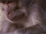 Monkey, Sarawak State, Borneo Photographic Print by Mattias Klum