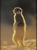 Back-Lit Portrait of a Meerkat in Guarding Posture Photographic Print by Mattias Klum