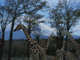 Giraffes Roam Near the Foot of Mount Fuji at the Fuji Safari Park Photographic Print by Karen Kasmauski
