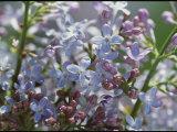 Blossoming Hyacinthiflora Lilacs Photographic Print by Darlyne A. Murawski