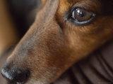 Close Up of the Face of a Dachshund Fotografisk tryk af David Evans