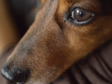 Close Up of the Face of a Dachshund Photographic Print by David Evans